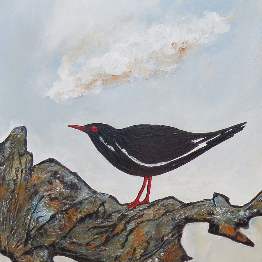 Sooty Oyster Catcher